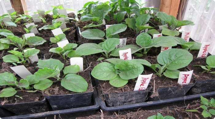 выращиваем рассаду баклажанов