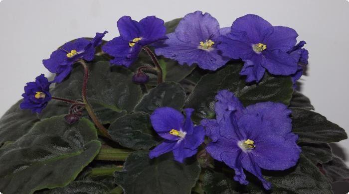 фиалки-комнатные цветы