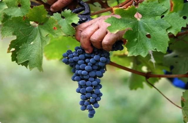 собираем виноград