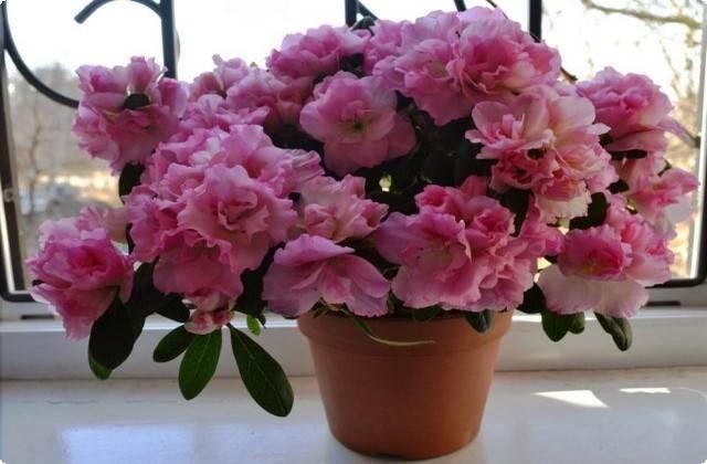 красивый цветок азалия