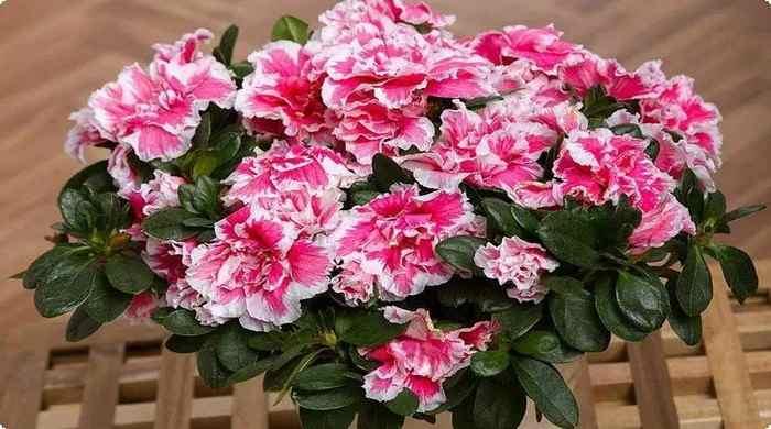 Азалия-комнатный цветок